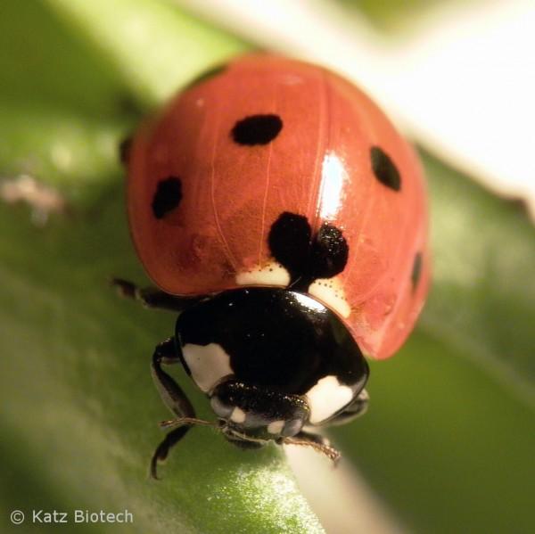 7-Punkt Marienkäfer (Coccinella septempunctata)