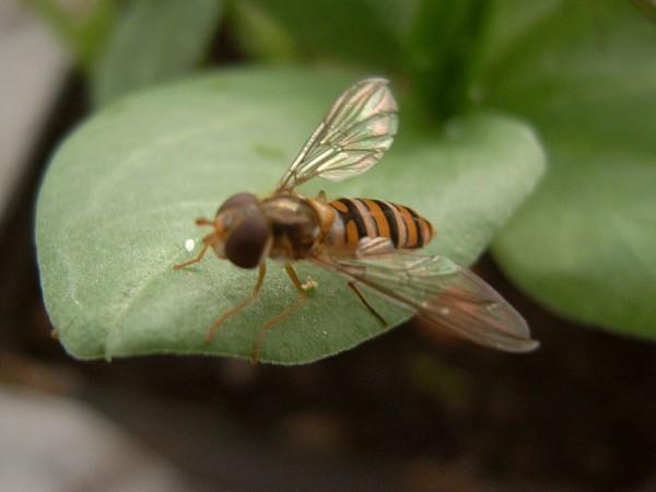 Die erwachsene Schwebfliege erinnert an eine Bien oder Wespe