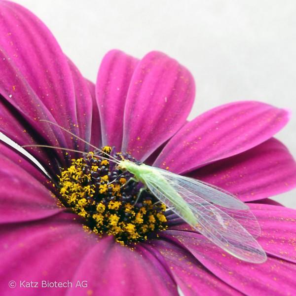 Florfliege (Chrysoperla carnea)